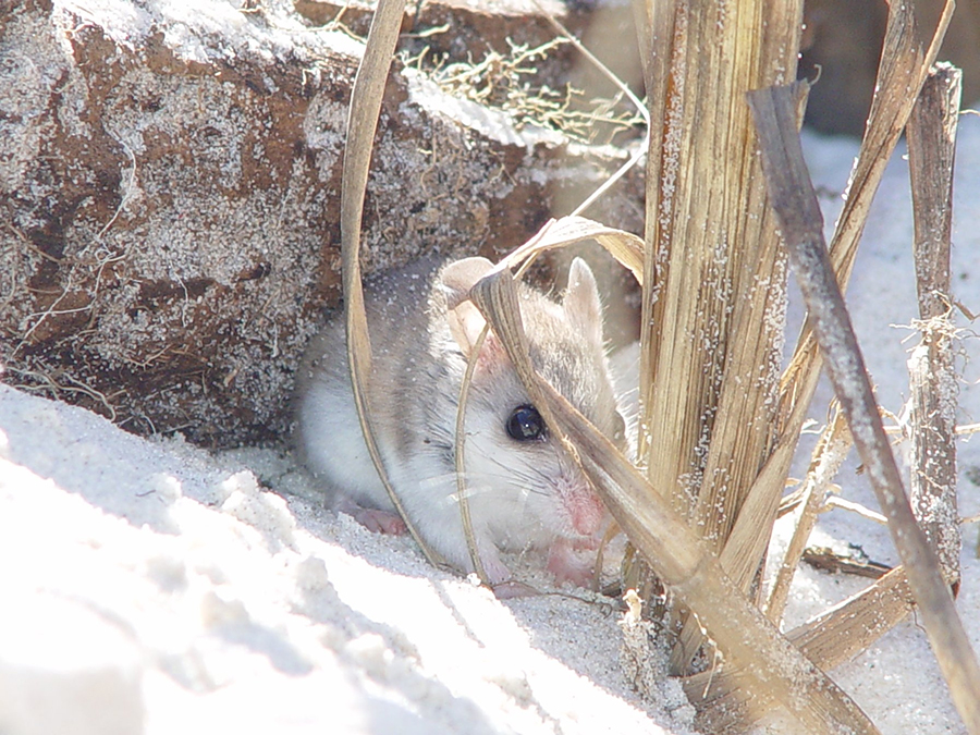 Photo of a Beach Mouse by USFWS